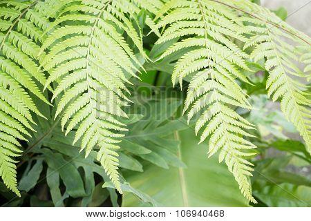 Fresh Green Fern Leaves In Garden