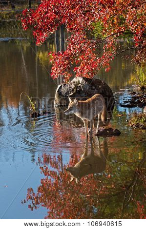 Coyote (canis Latrans) Reflected In Water