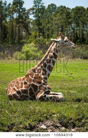 Giraffe Resting On A Grass
