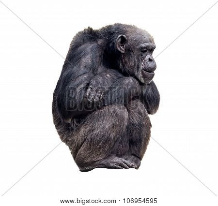Sitting Chimpanzee On The White Background
