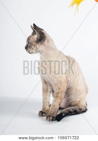 Devon rex cat on white background