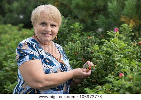 Mature woman collects dog-rose