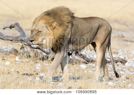 Hungry Lion On The Move