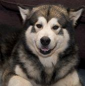 Alaskan malamute dog smiling poster
