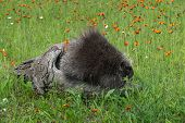 Porcupine (Erethizon dorsatum) Looks Right from Atop Log - captive animal poster