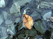 floating leaf amdist rocks in lake in macro mode poster