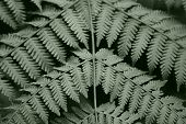 "a monotone photo of fern leaves known as ""paku-pakis"" in the malay language. poster"