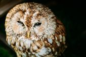 The tawny owl or brown owl - Strix aluco - is a stocky, medium-sized owl commonly found in woodlands across much of Eurasia. poster