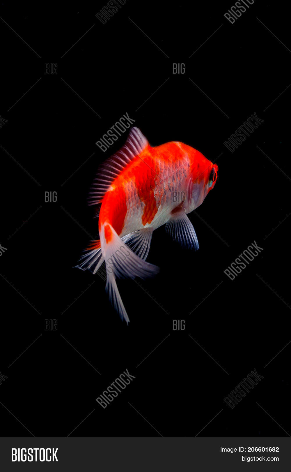 Koi Fish Isolated On Black Image & Photo | Bigstock