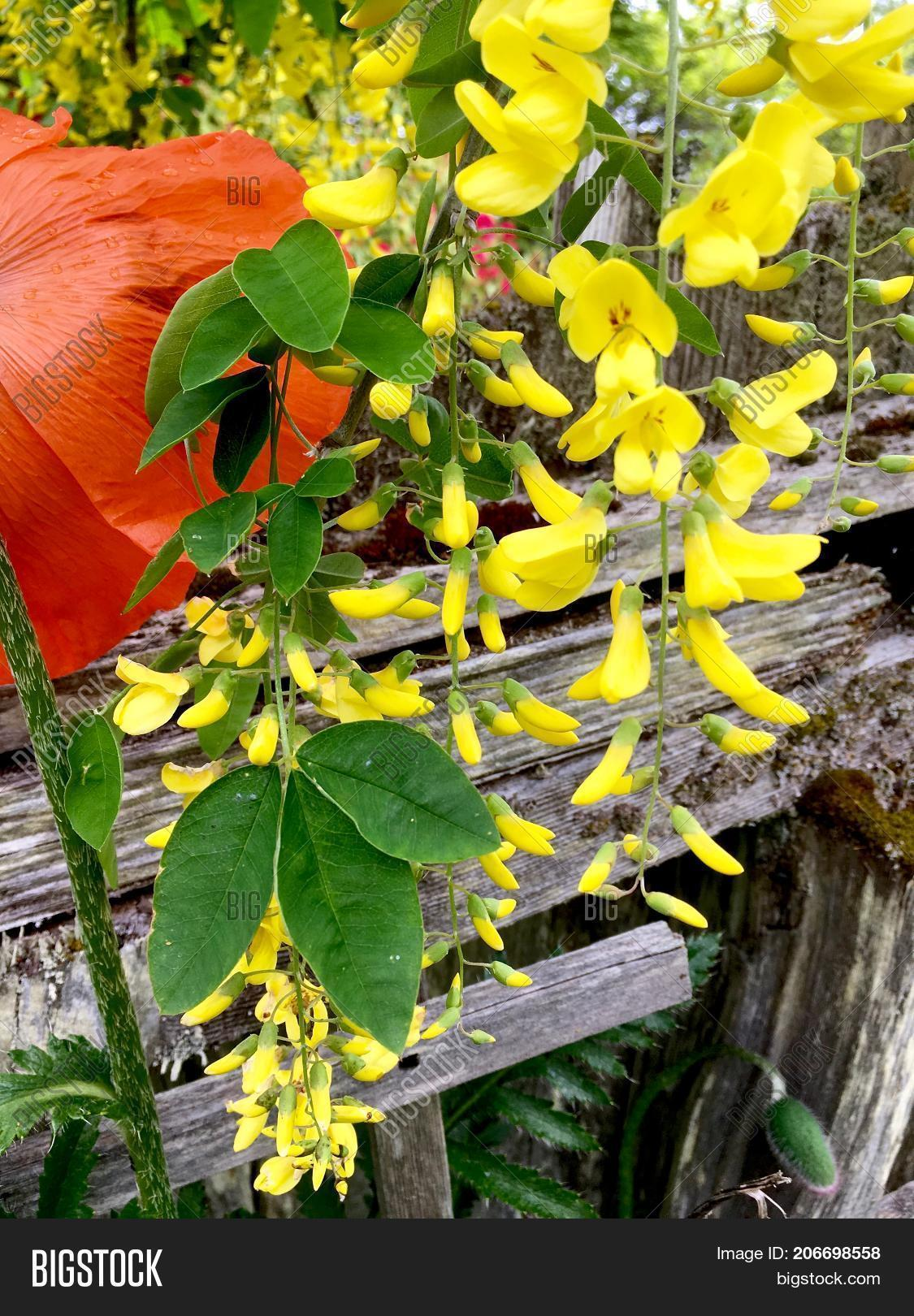 Yellow hanging flowers image photo free trial bigstock yellow hanging flowers of the laburnum tree hanging in a garden in front of a weathered mightylinksfo