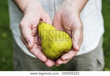 Hands holding pear organic produce from farm