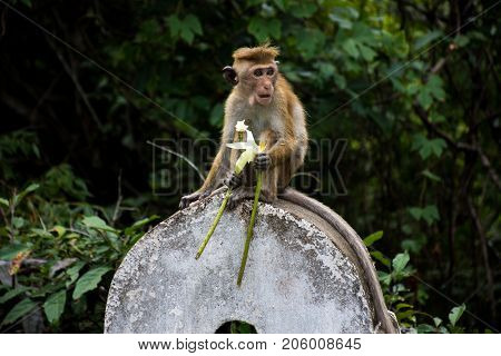 Monkey on a stone with a flower. Golden temple in Dambulla monkey.Temples in Asia.Buddhist monument in Sri Lanka.