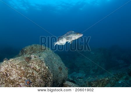 live fish in sea of japan