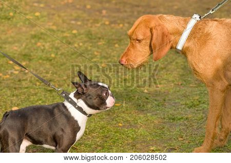 Acquaintance of two dogs. Space under the text. 2018 year of the dog in the eastern calendar. Concept: parodist dogs, dog friend of man, true friends, rescuers.