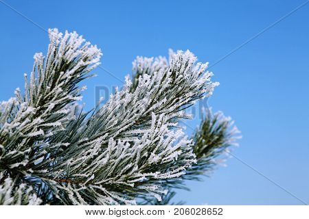 branch of New Year tree in white hoarfrost at winter