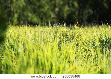 Beautiful Bunch of Lemongrass closeup, green lemongrass