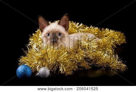 Beautiful siamese kitten in gold tinsel with baubles, on black background