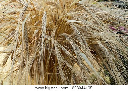 Golden Ears Of Wheat.