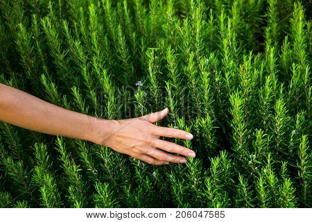 a woman's hand and green rosemary bushes with flowers