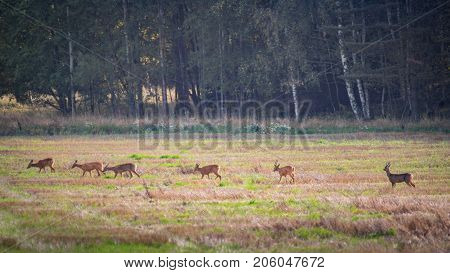 Beautiful roe deer family making its way over a field with the male roe deer watching over the others