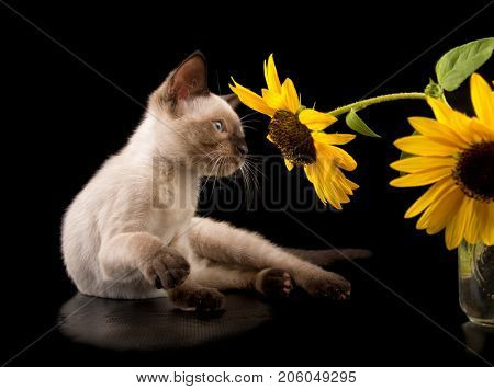 Siamese kitten looking at a yellow Sunflower, on black background