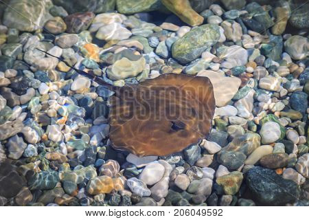 Small brown stingray swims in shallow water