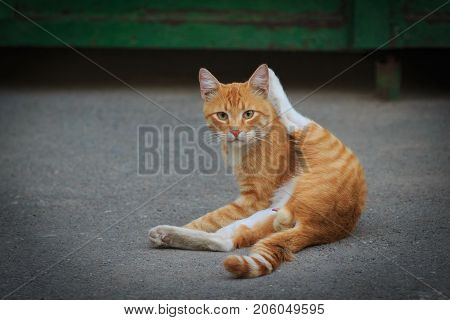 Male orange striped cat is sitting on the asphalt