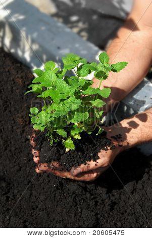 Lemon Balm Planting