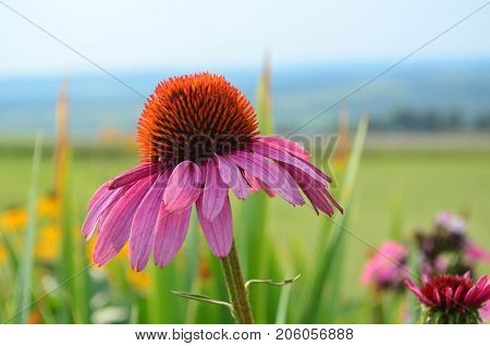 Single pink coneflower in a colorful garden