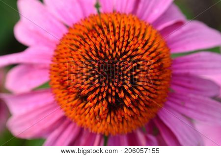 Overhead view of pink coneflower with orange center
