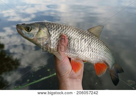 Chub in fisherman's hand against water surface
