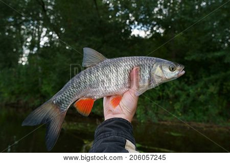 Chub in fisherman's hand, late summer catch