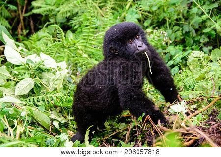 Inquisitive baby mountain gorilla watching very closely