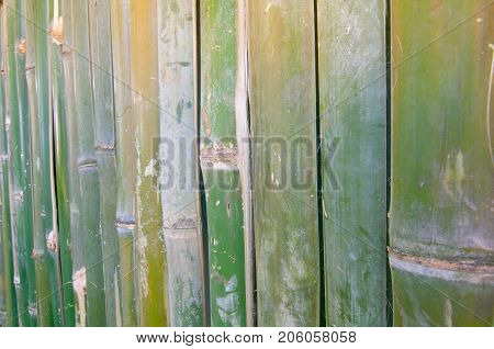 Green bamboo fence Fresh green and dried yellow bamboo fence wall texture background