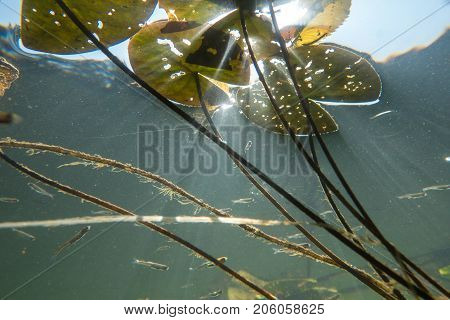 Underwater river landscape with lily and sun rays in muddy water