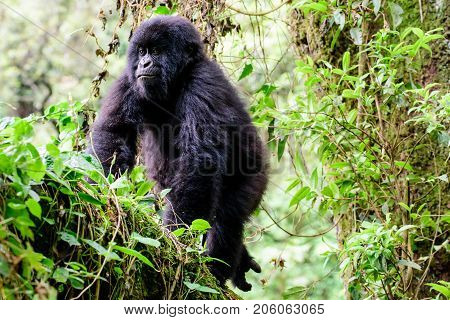 Juvenile mountain gorilla climbing  in a tree