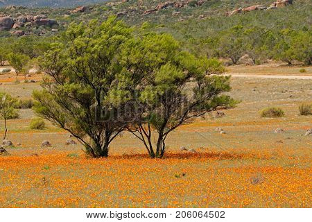 Landscape with colorful wild flowers and tree, Namaqua National Park, South Africa