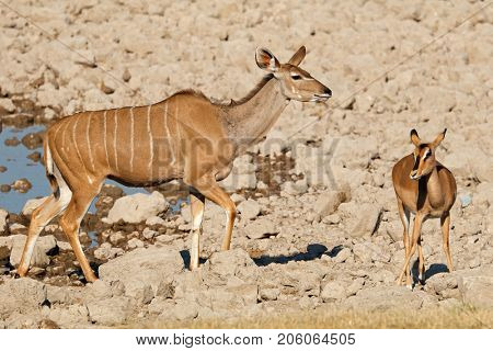 A kudu and impala antelope at a waterhole, Etosha National Park, Namibia