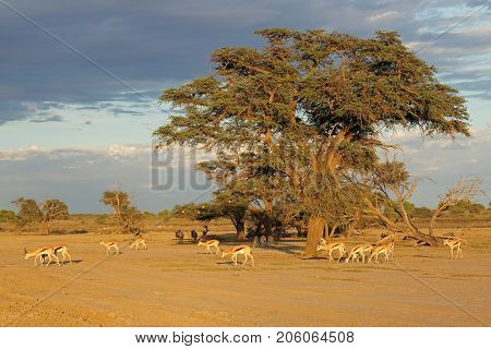 Landscape with thorn tree and springbok antelopes (Antidorcas marsupialis), Kalahari desert, South Africa