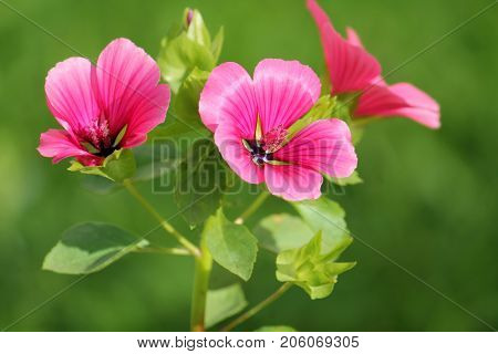 Lavatera or rose mallow pink flowers in garden