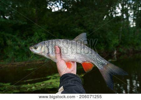 Chub in angler's hand against bushy river shore