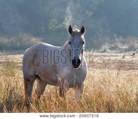 white horse stallion in field at sunrise poster