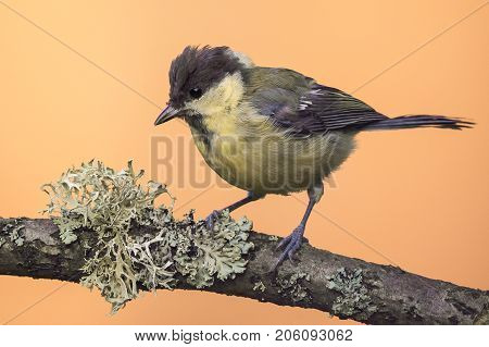 Perched Baby Great-tit On Wooden Branch With Lichen