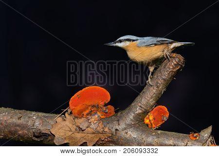 Single Eurasian Nuthatch On Branch With Orange Mushrooms