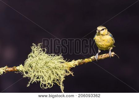 Single Light Blue Tit Perched On Twig With Strange Lichen