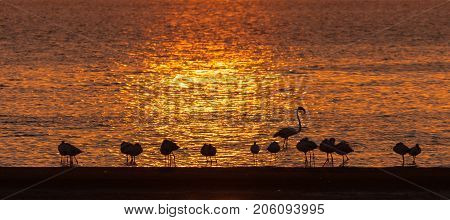Silhouettes of Greater Flamingos Phoenicopterus ruber roseus at sunset in the lagoon at Walvis Bay in the Namib Desert on the Atlantic Coast of Namibia