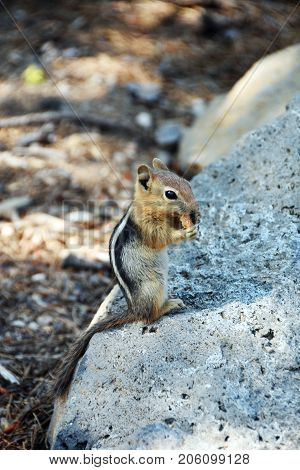 Picture of a chipmunk in Oregon, USA.