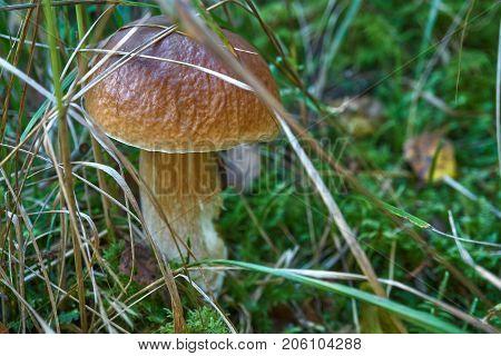 One Brown Mushroom, Lurid Bolete, In The Woods.