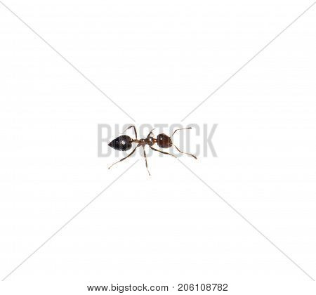 ant on a white background. macro . Photos in the studio