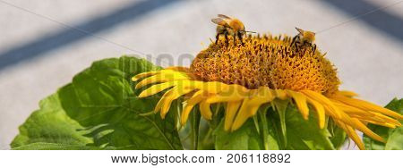 Sunflower with two bumblebees on a warm summer day.